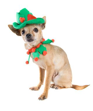 a tiny chihuahua dressed up as an elf