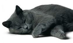 img-chat-chartreux
